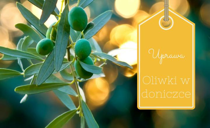 Uprawa oliwki w donicy