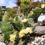 Opuncja ogrodowa – jak ją uprawiać i zimować?