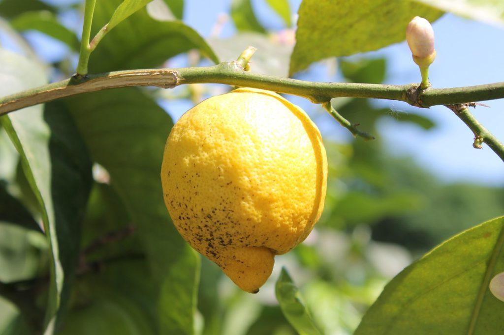 Domowa uprawa cytryny