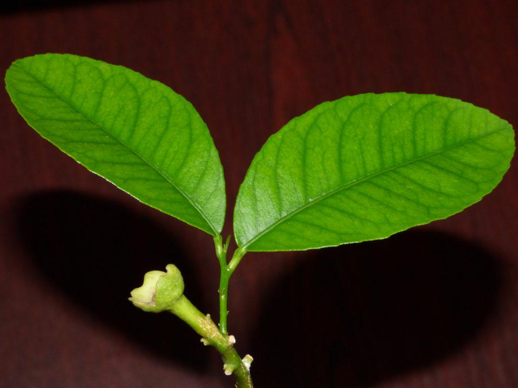 Domowa uprawa cytryny - kwiat - pak