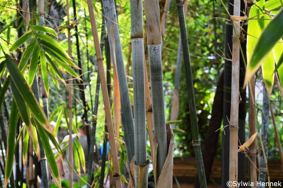 Pięknie pokryty białym nalotem bambus Chunga - Bambusa chungii