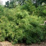 Bambusy mrozoodporne (i nie) we wrocławskim Zoo