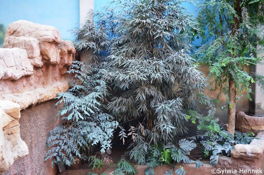 Smutna palma kariota (Caryota mitis)