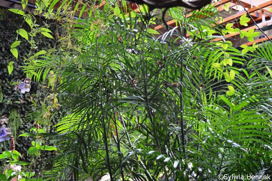 Lasek palmowy - prawdopodobnie Chamaedorea seifrizii