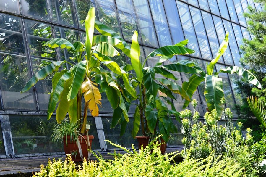 zimowanie roślin egzotycznych bananowce w donicy