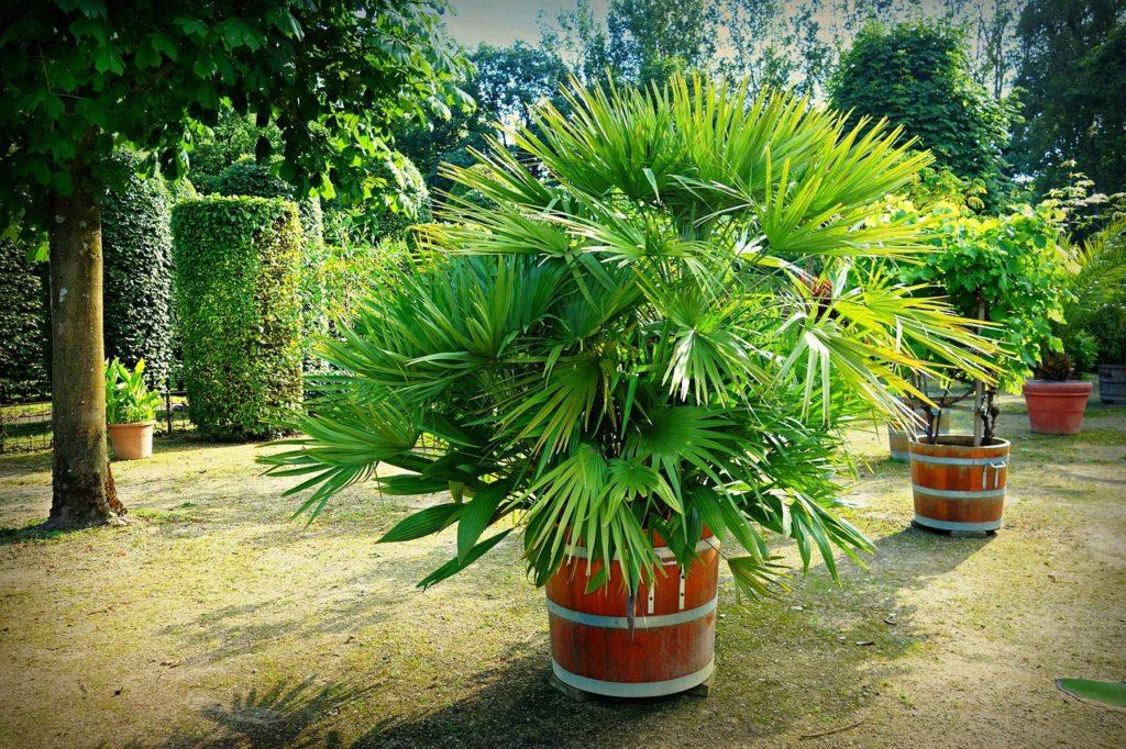 palma karłatka zimowanie roślin egzotyczych