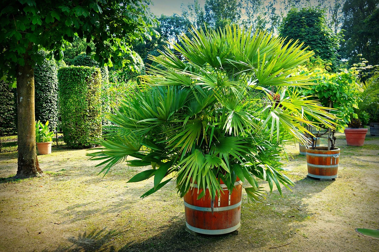 Jak przezimowa ro liny egzotyczne - Costo palma da giardino ...