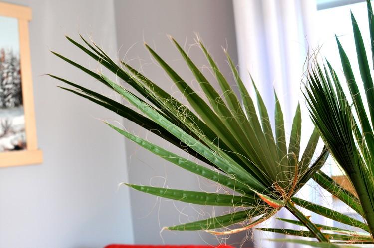 jak-wyhodowac-palme-z-nasion-waszyngtonia-2_mini