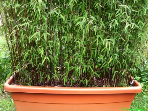 Bambus na mały balkon - Fargesia północnosyczuańska 1 (czerwony bambus)