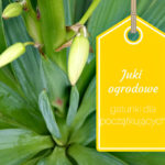 Juki mrozoodporne w ogrodzie – dla początkujących