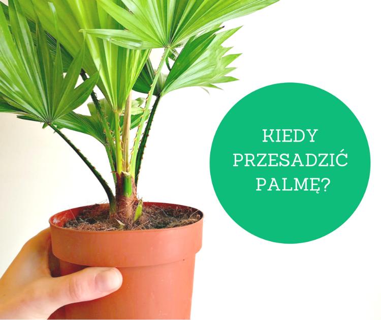 Przesadzanie palmy – 3 przykłady, kiedy warto to zrobić