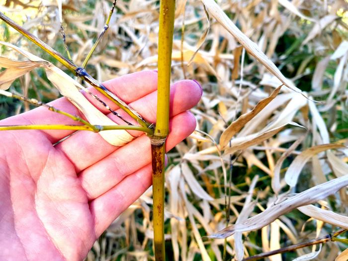 po-czym-poznac-czy-moj-bambus-zyje-po-zimie