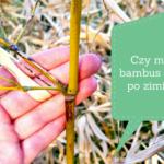 Czy mój bambus żyje po zimie?