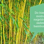 Do kiedy można najpóźniej sadzić bambusy?