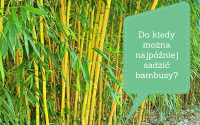 Do kiedy można najpóźniej sadzić bambusy_