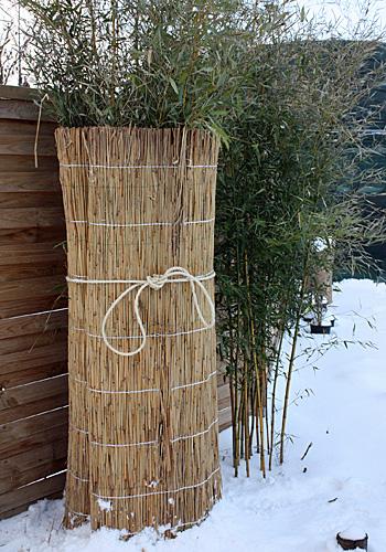 Jak przezimować bambus w ogrodzie?