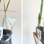 Jak szybko i łatwo wysiać nasiona palm metodą woreczkową?