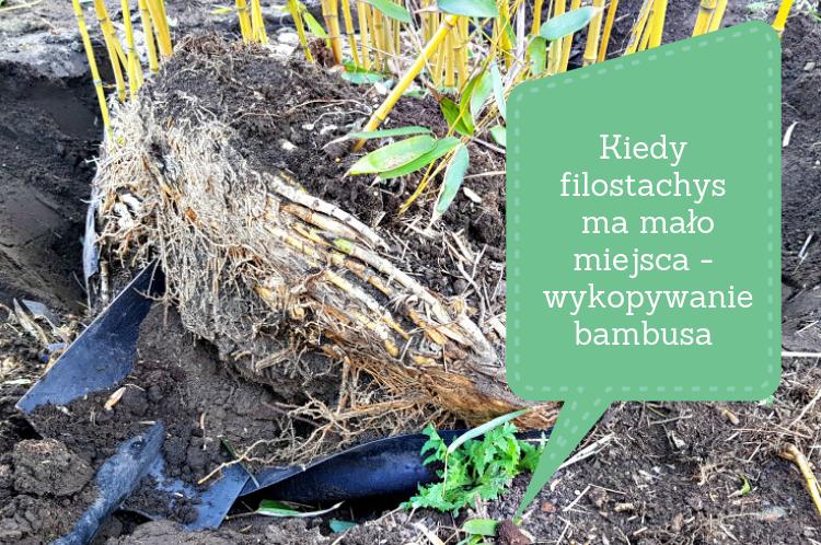 Kiedy filostachys ma mało miejsca – wykopywanie bambusa