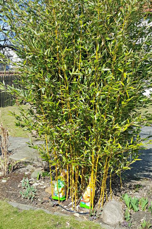 Bambus drzewiasty w ogrodzie