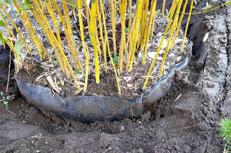 Widać poziome wybrzuszenia w barierze - to od środka rozpychają ją kłącza bambusa