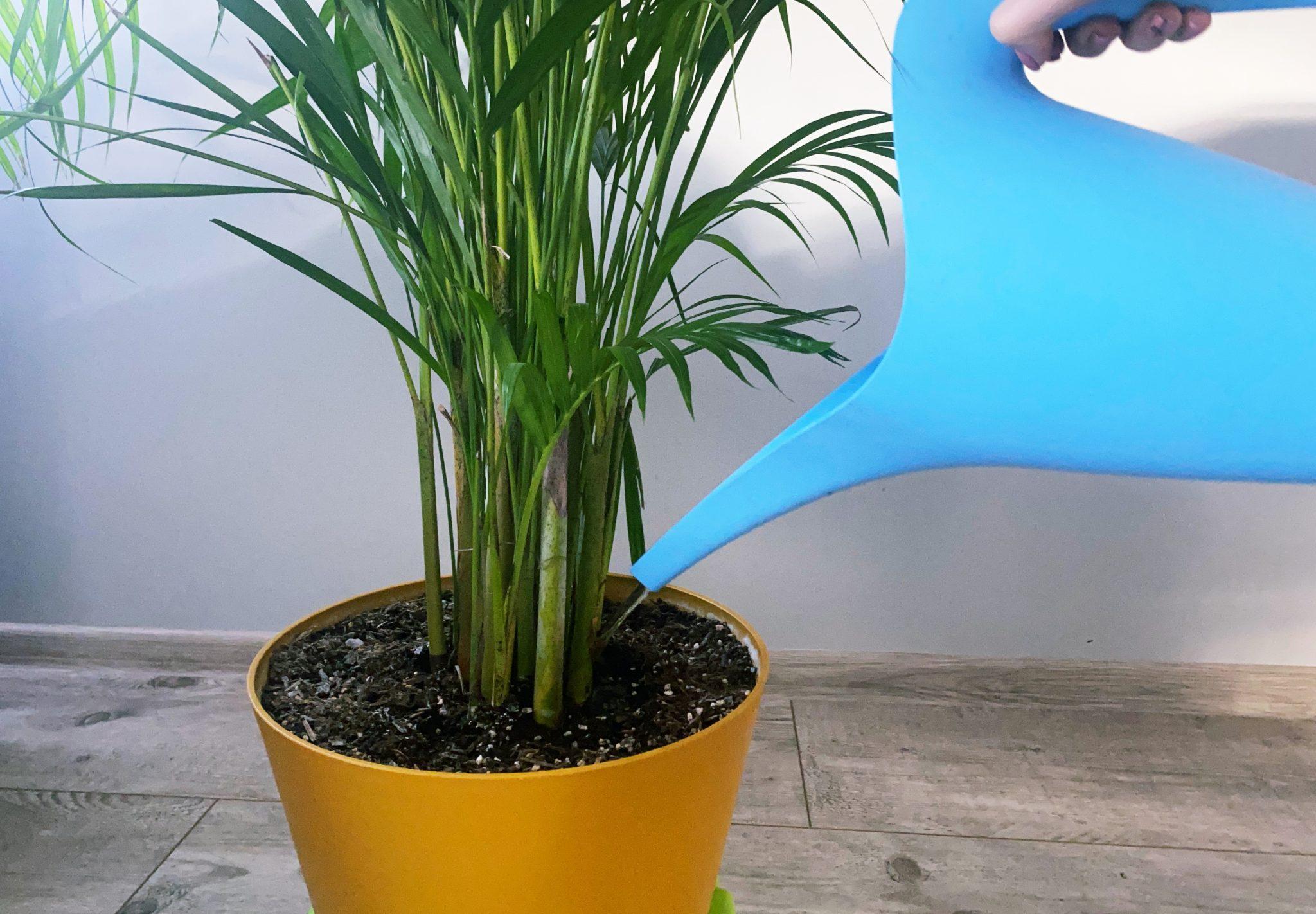 podlewanie palm