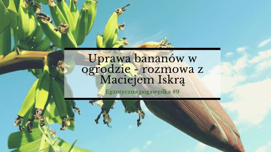 Uprawa bananów w ogrodzie   Rozmowa z Maćkiem Iskrą   Egzotyczna Pogawędka #9