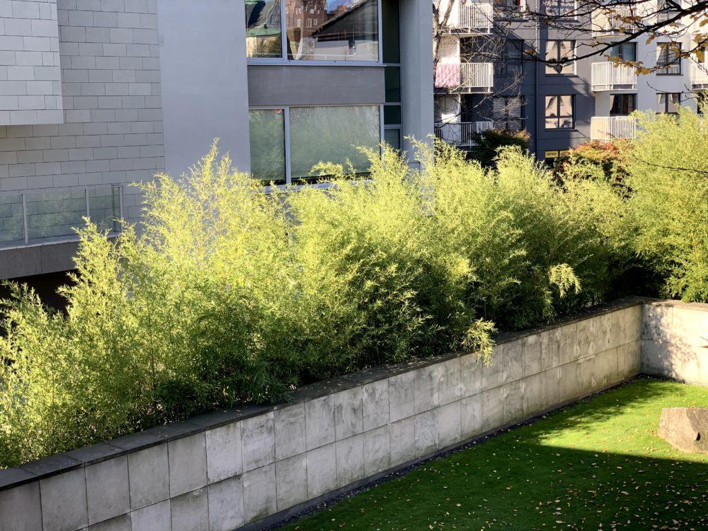 czy bambus może rosnąć w polsce