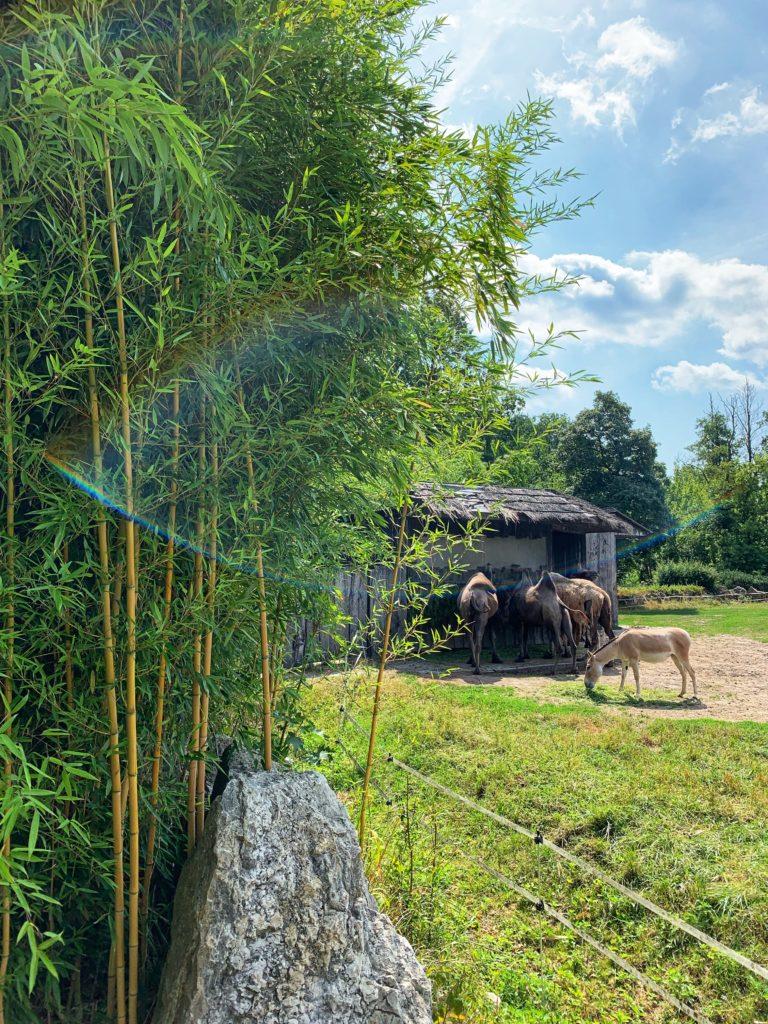 bambus mrozoodporny w Polsce
