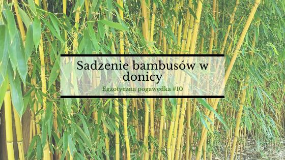 Sadzenie bambusów w donicy | Egzotyczna pogawędka #10