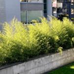 Bambus w ogrodzie – czy to możliwe w Polsce?