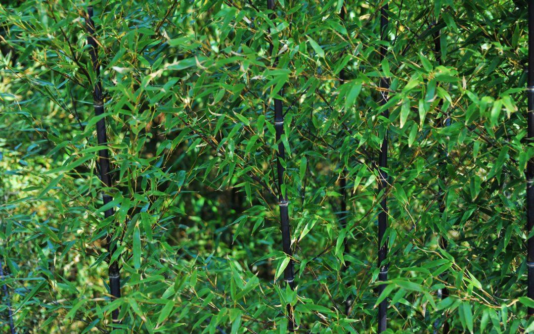 Co Was zachwyca w bambusach, a czego się obawiacie?