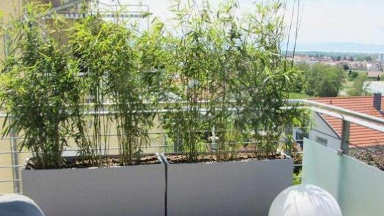 Bambus w donicy – 10 pomysłów i konkretne gatunki