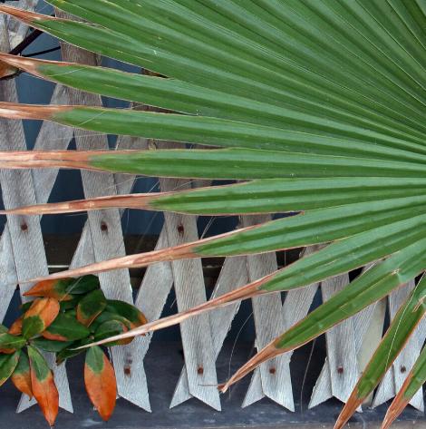 Dlaczego schną końcówki liści palm?
