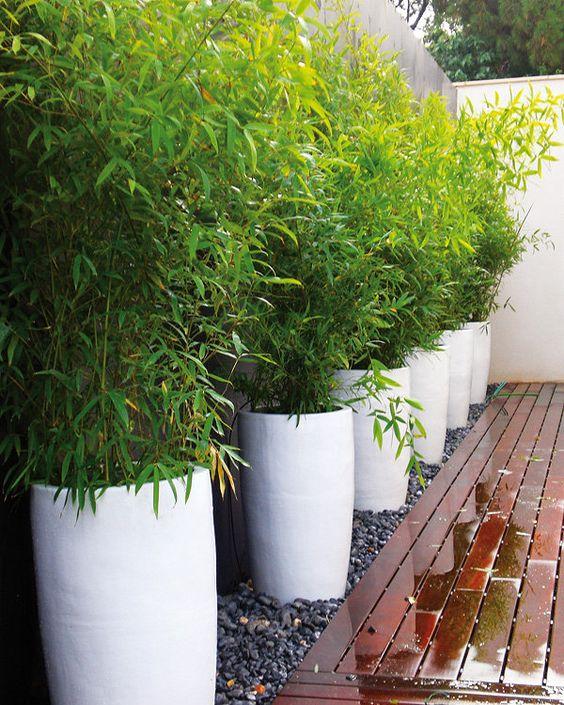 Bambus Bisetta