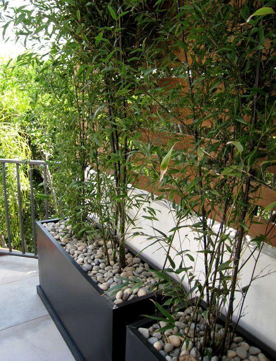 czarny bambus (słońce, półcień i cień)