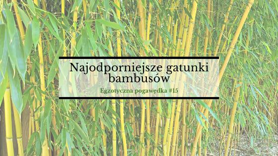Najodporniejsze gatunki bambusów | Egzotyczna Pogawędka #15