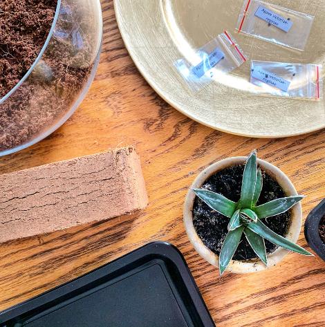 Jak wysiać nasiona agaw?