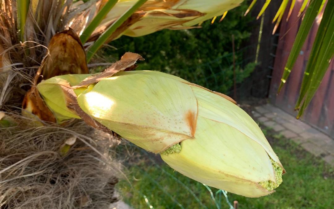 palma kwitnie