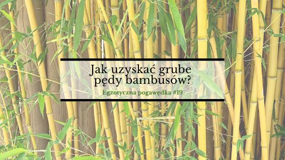 Jak uzyskać grube pędy bambusów? | Egzotyczna Pogawędka #19