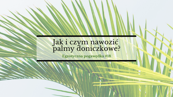 Jak i czym nawozić palmy doniczkowe?   Egzotyczna Pogawędka #18