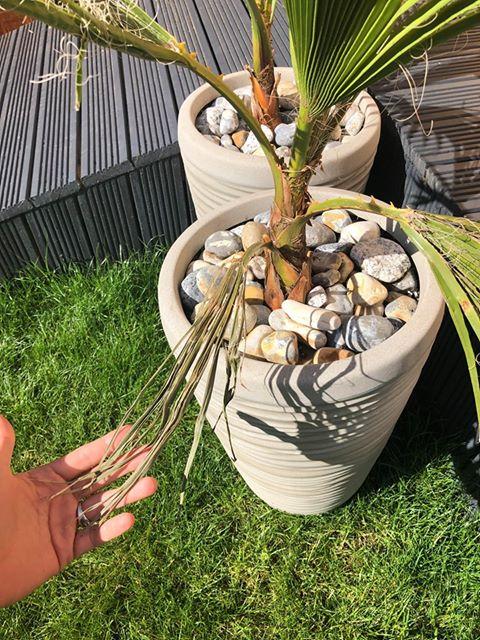 dlaczego liście palmy usychają