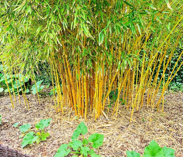 Bambus złotobruzdowy aureocaulis - w egzotycznym ogrodzie