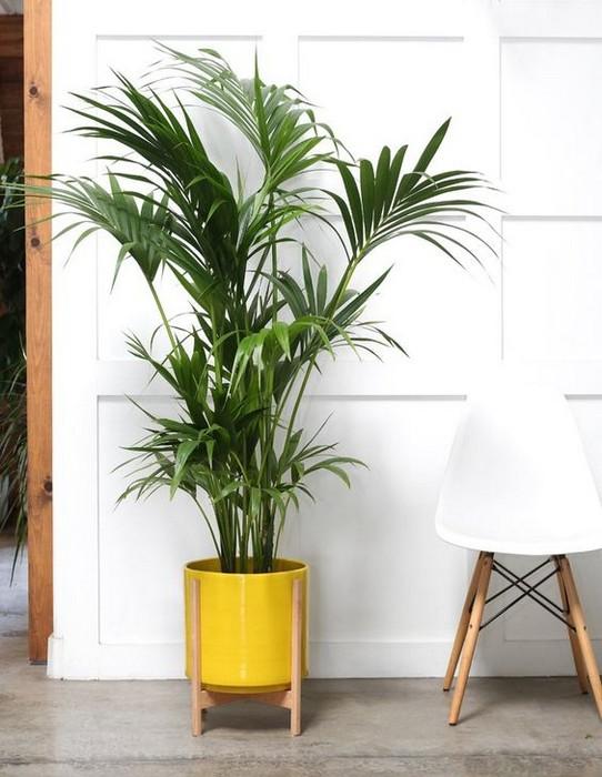 palma kencja howea doniczkowa domowa