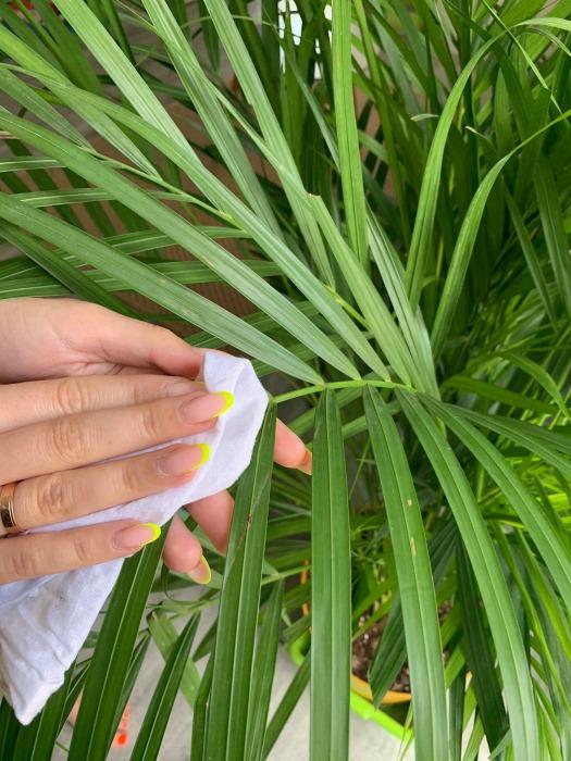 jak czyscic liscie palm
