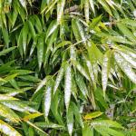 Czy bambus ogrodowy jest zimozielony?
