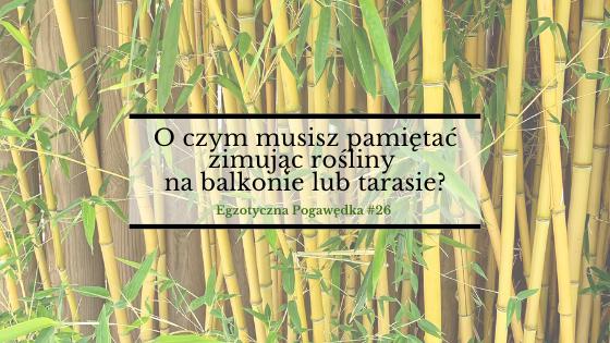 O czym musisz pamiętać zimując rośliny na balkonie lub tarasie? | Egzotyczna Pogawędka #27