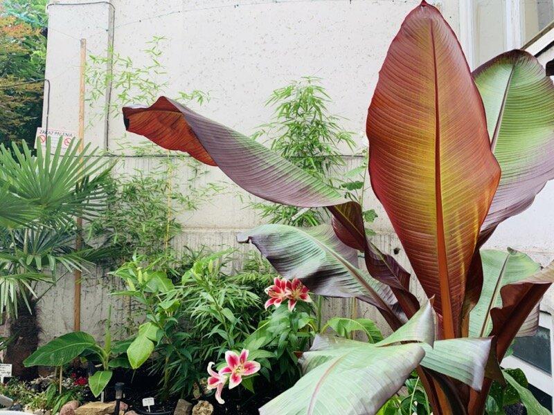 miejska-dżungla-kraków-czerwony-banan-ensete-ventricosum-maurelii