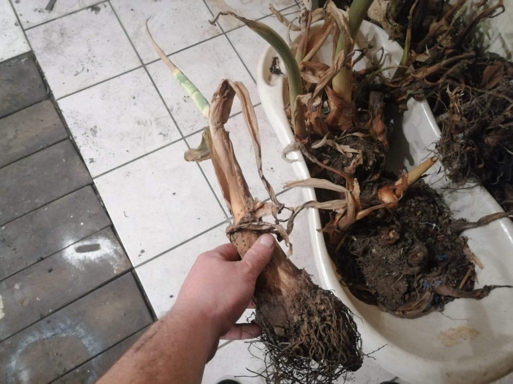 Zimowane Colocasie esculenta w piwnicy