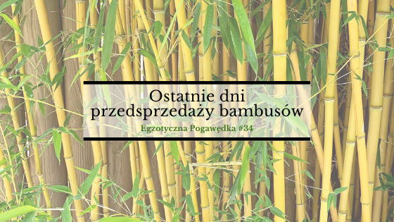 Ostatnie dni przedsprzedaży bambusów | Egzotyczna Pogawędka #34