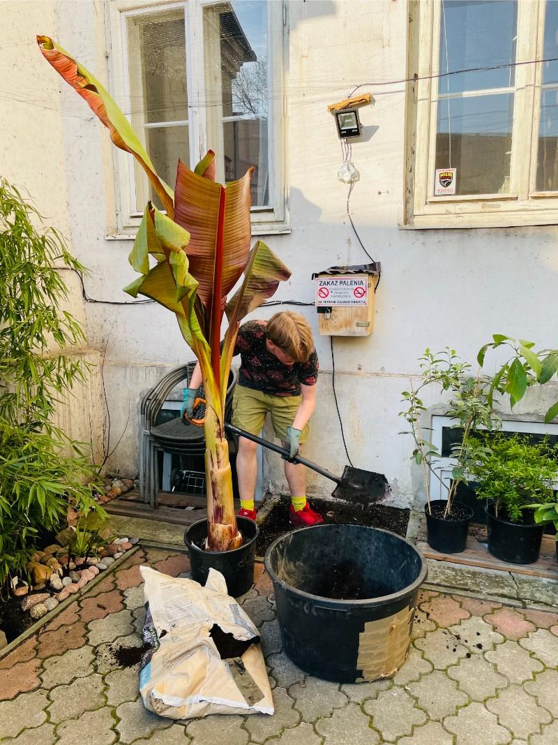 Jak posadzić bananowca